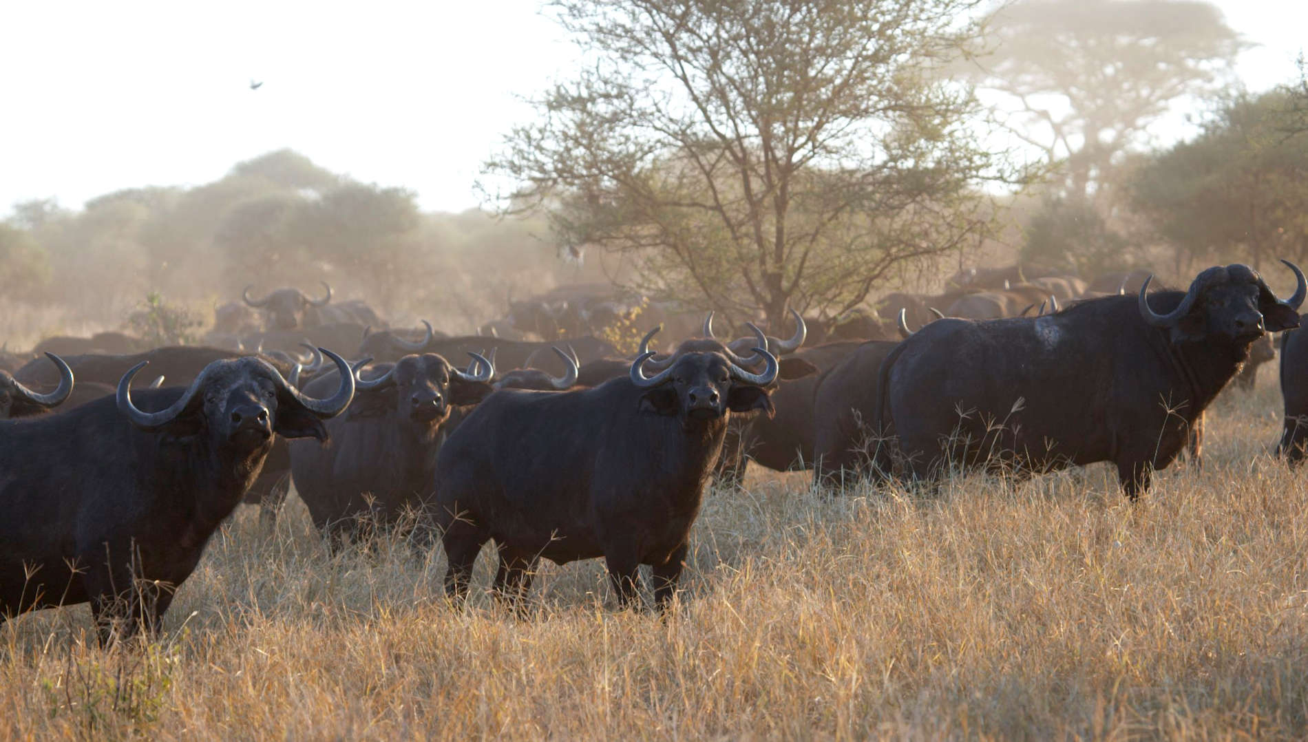 Tarangire Büffel