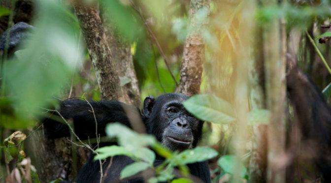 4 Tage Schimpansentrekking