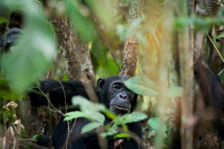 Safari: 4 Tage Schimpansentrekking